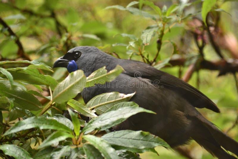 新西兰独特的地方性鸟Kokako 免版税库存图片