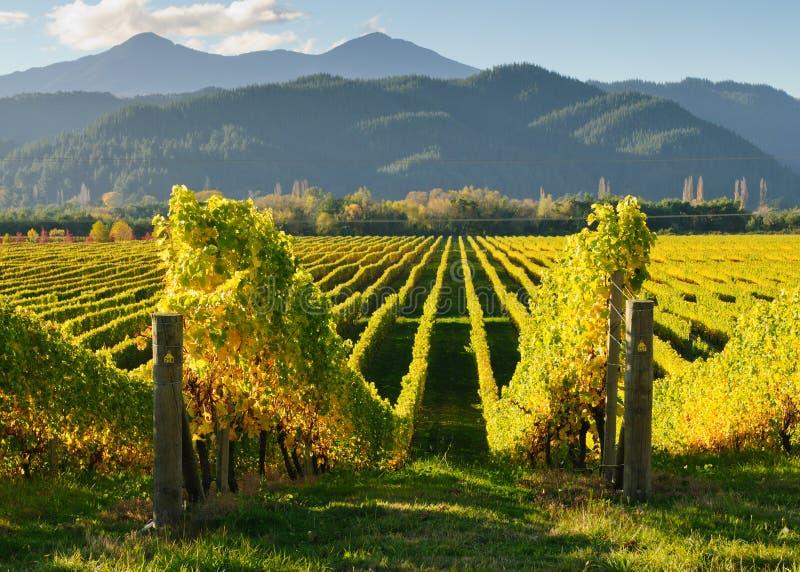 新西兰葡萄园 免版税库存图片