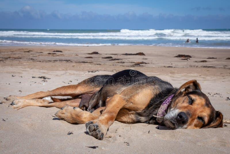 新西兰说谎在太阳的海滩的Huntaway在退休的两天从是以后一只全时护羊狗 免版税图库摄影