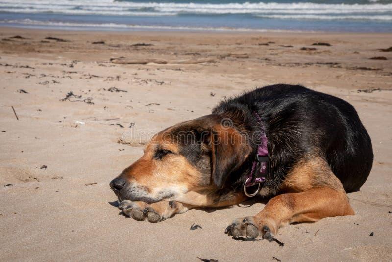 新西兰说谎在太阳的海滩的Huntaway在退休的两天从是以后一只全时护羊狗 库存图片