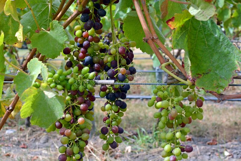 新西兰马尔伯勒葡萄园西拉葡萄成熟特写 库存照片