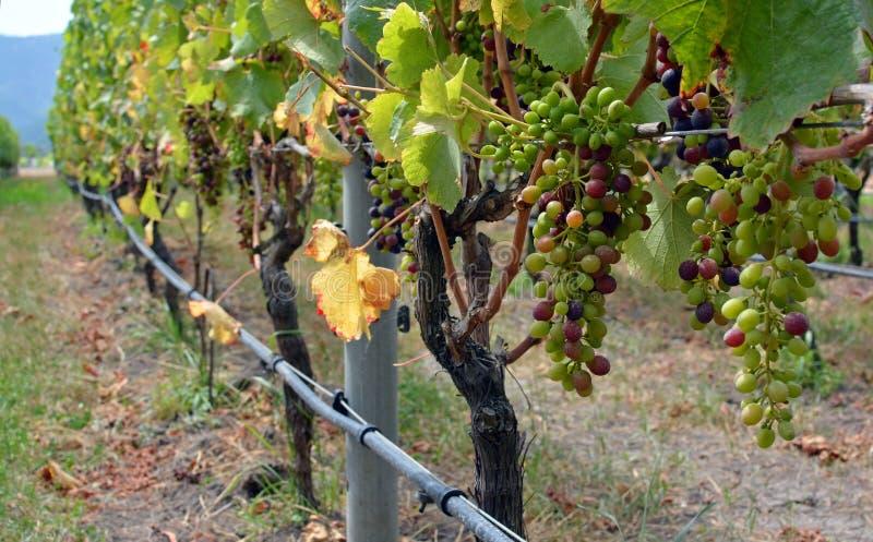 新西兰马尔伯勒葡萄园西拉葡萄成熟特写 图库摄影
