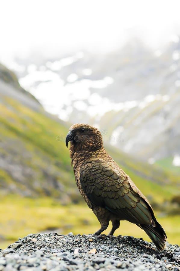 新西兰鹦鹉 免版税图库摄影