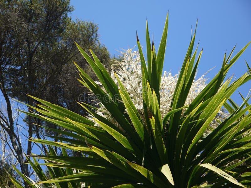 新西兰:极光当地圆白菜树花的Cordyline 库存照片