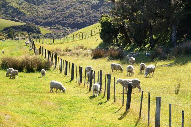 新西兰绵羊 免版税库存照片