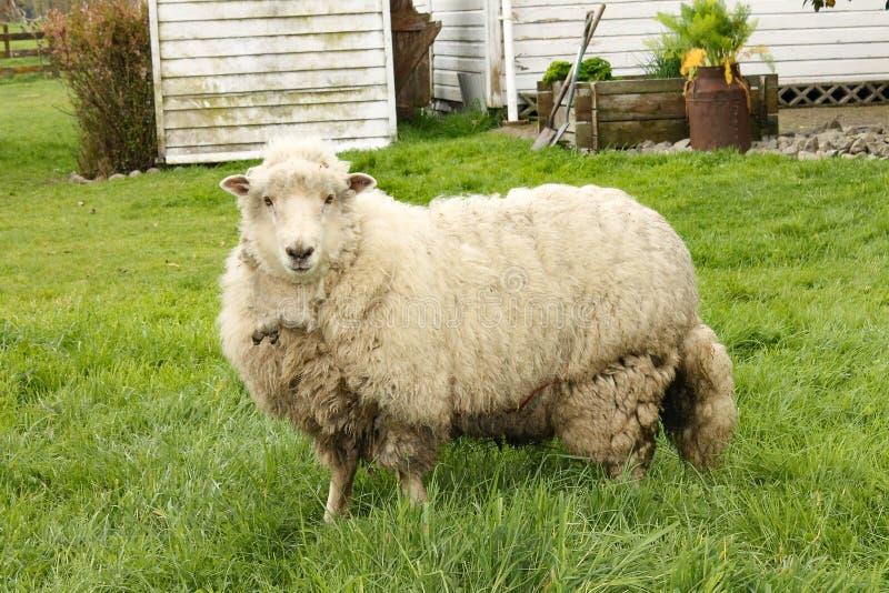 新西兰` s绵羊 库存照片