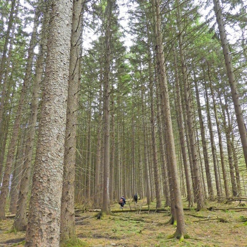 新达金森林大NYS远足小径高松树 免版税库存图片