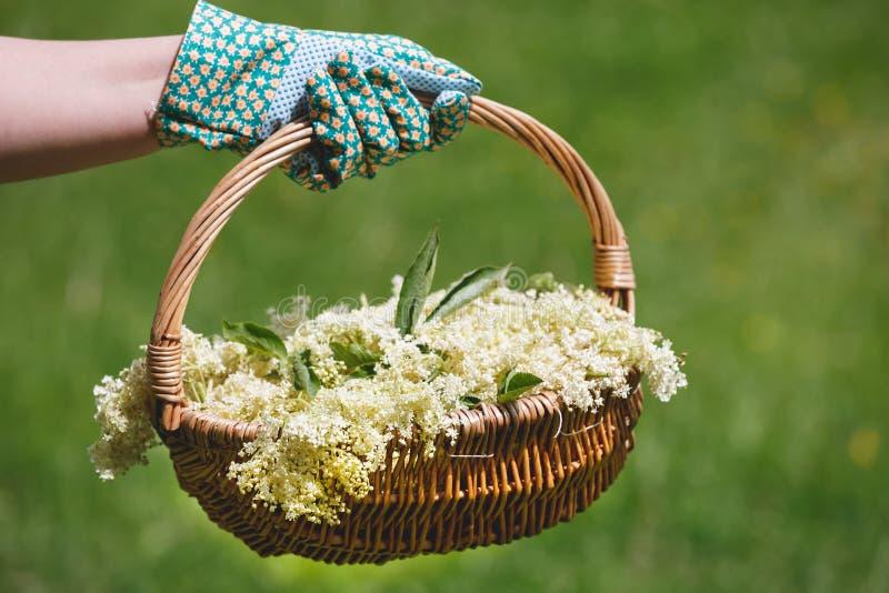 新近地举行的妇女采摘了热忱的准备的Elderflower 库存照片