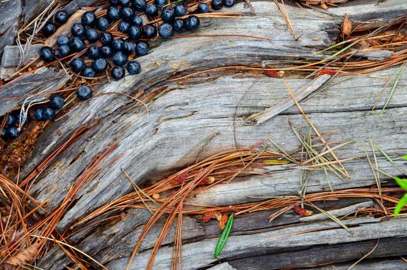 新近地摘在树桩的蓝莓在土气木表面上的森林新鲜的蓝莓 库存图片
