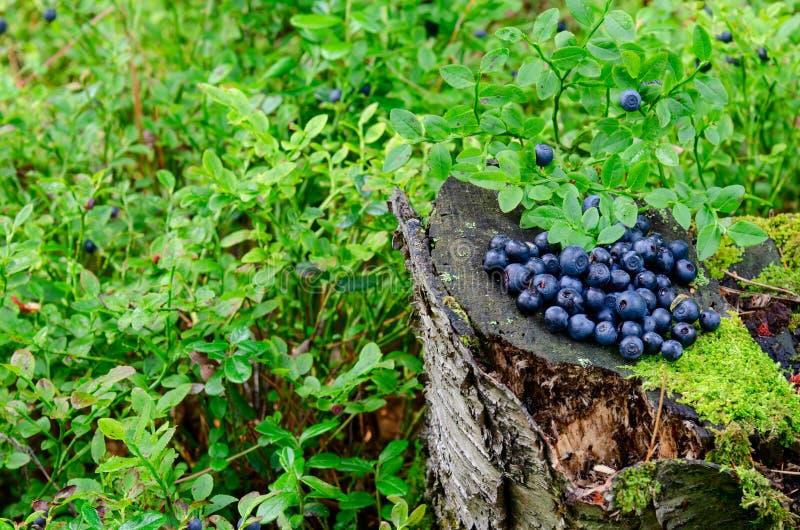 新近地摘在树桩的蓝莓在土气木表面上的森林新鲜的蓝莓 免版税库存照片