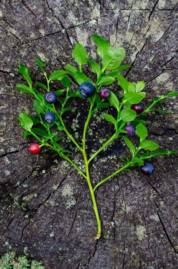 新近地摘在树桩的蓝莓在土气木表面上的森林新鲜的蓝莓 免版税库存图片