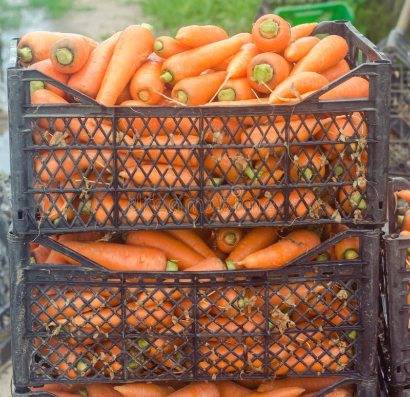 新近地收获了在准备待售箱子的红萝卜 增长的环境友好的产品在农场 农业和种田 o 库存图片