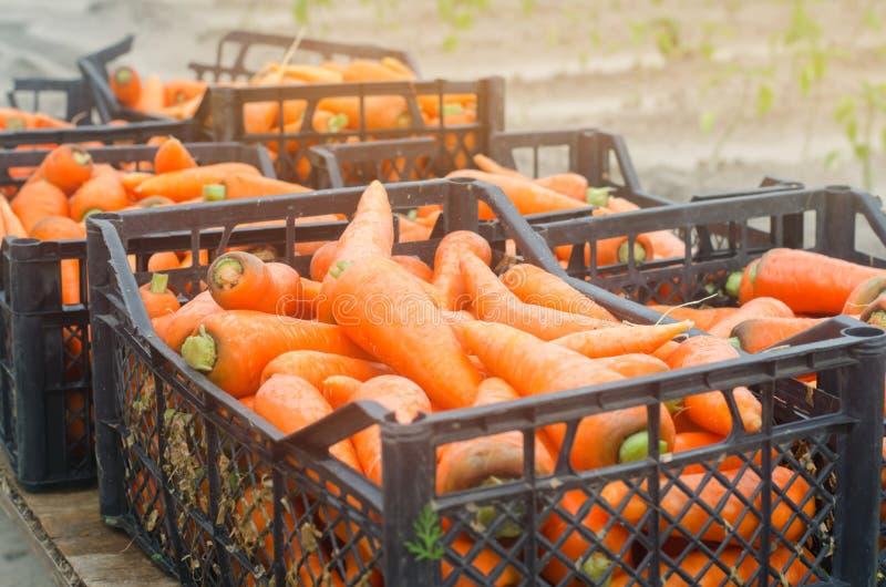 新近地收获了在准备待售箱子的红萝卜 增长的环境友好的产品在农场 农业和种田 o 免版税库存照片