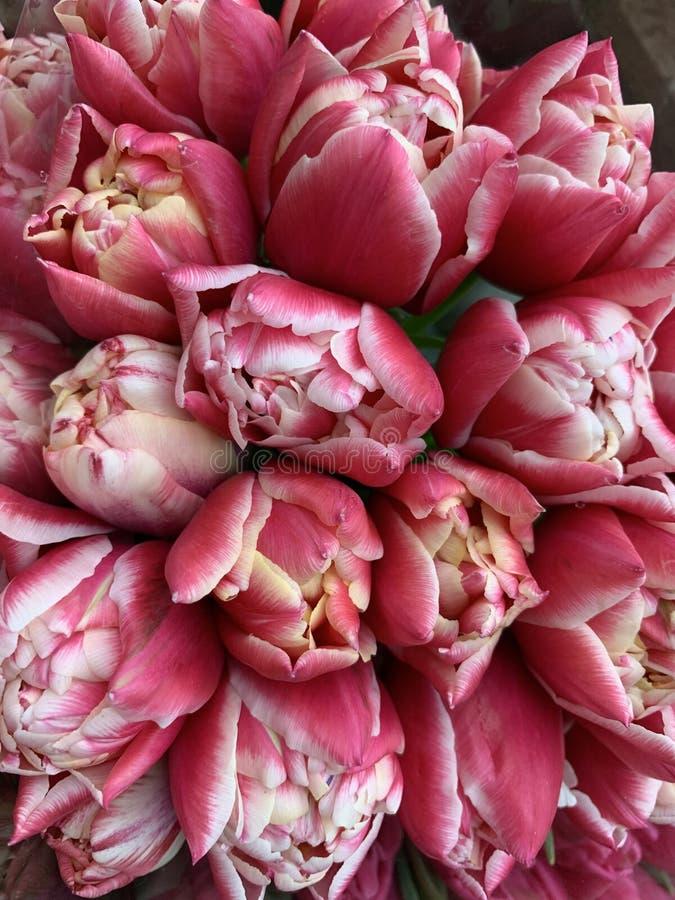 新近地被交付的季节性郁金香美丽的开花的花床,顶视图 库存照片