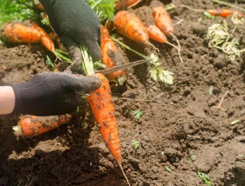 新近地被收获的红萝卜在一位农夫的手上领域的 增长的环境友好的产品 农业和种田 o 免版税库存照片