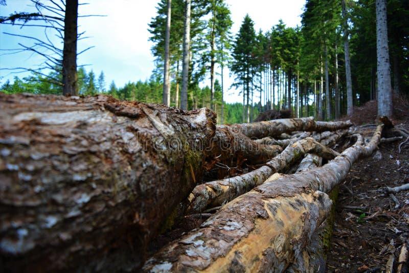 新近地被放弃的树的图片 免版税库存照片