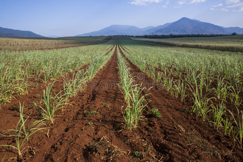 新近地被种植的糖藤茎行  免版税库存照片