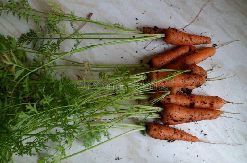 新近地被采摘的嫩胡萝卜 库存照片