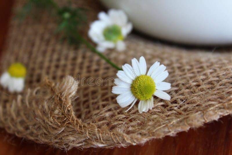 新近地被采摘的春黄菊花 免版税库存图片