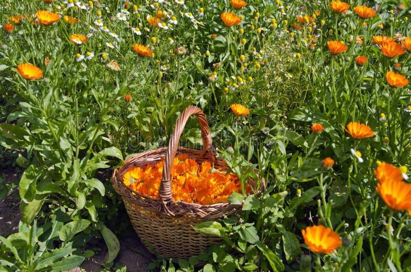 新近地被采摘的金盏草在柳条筐开花在庭院里 免版税库存图片