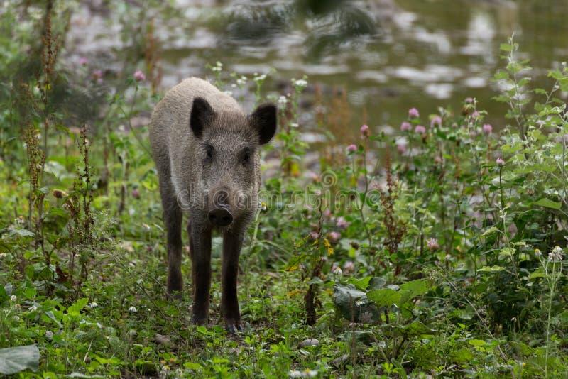 新野公猪搜寻 免版税图库摄影