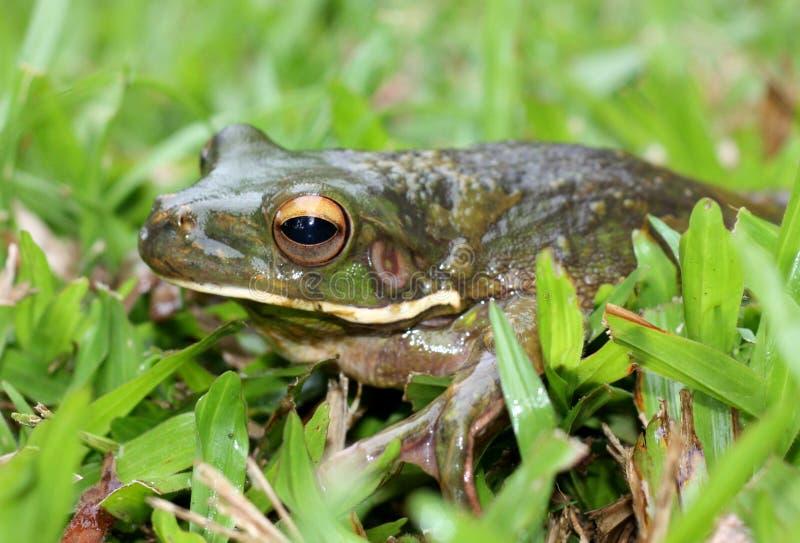 新青蛙的几内亚 免版税库存图片