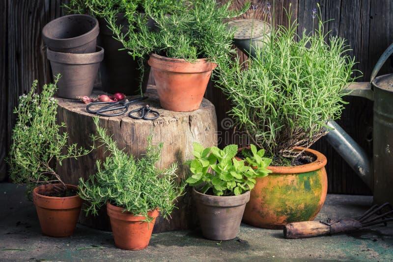 新鲜和绿色草本在土气庭院里 免版税库存照片