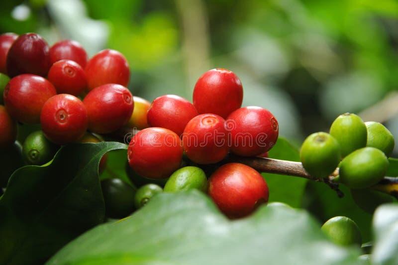 新鲜咖啡豆 免版税图库摄影