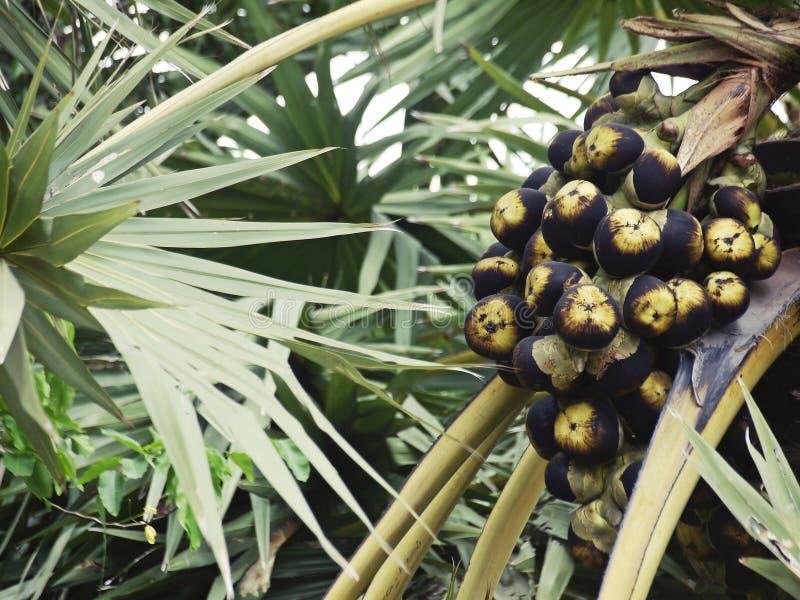 新鲜水果亚洲扇叶树头榈棕榈,树头梭flabellifer,在起源树的棕榈汁在种植园 免版税库存照片