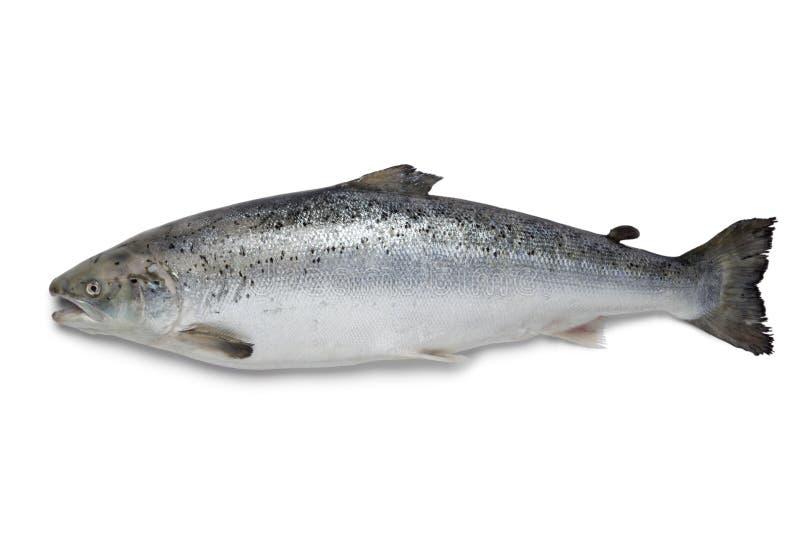 新鲜的三文鱼鱼 库存照片