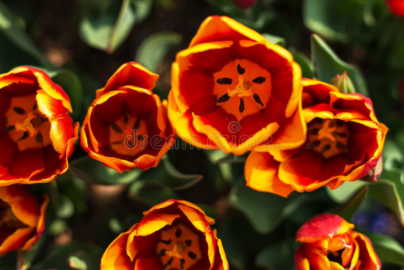 新鲜的五颜六色的郁金香在温暖的阳光下 免版税库存图片