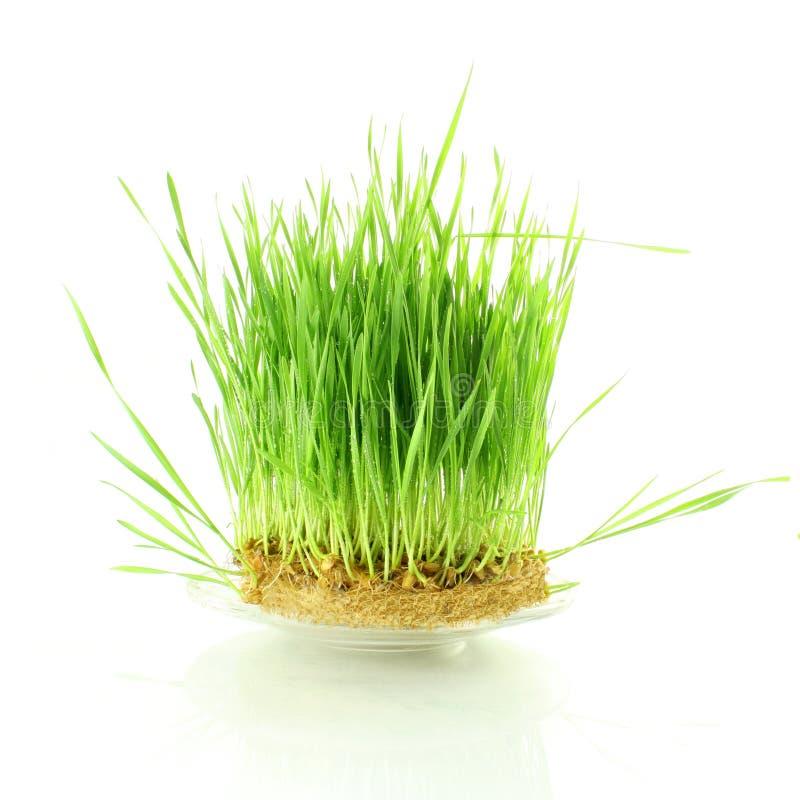 新鲜的发芽的麦子草用水在白色背景中滴下 库存照片