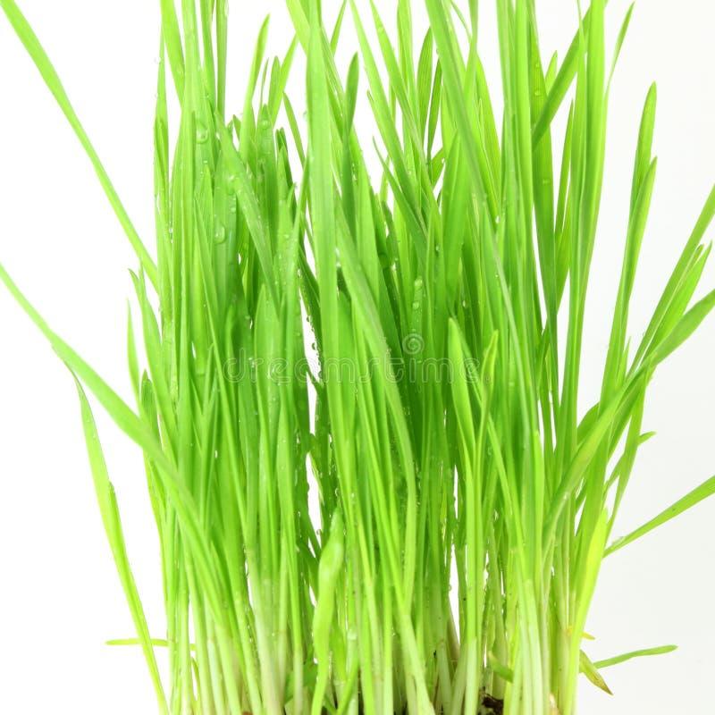 新鲜的发芽的麦子草用水在白色背景中滴下 库存图片