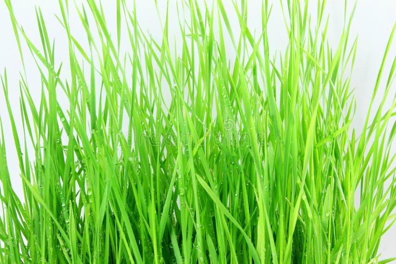 新鲜的发芽的麦子草用水在白色背景中滴下 免版税库存图片