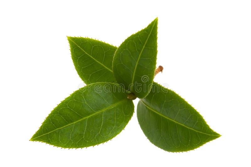 新鲜的叶子茶 库存图片
