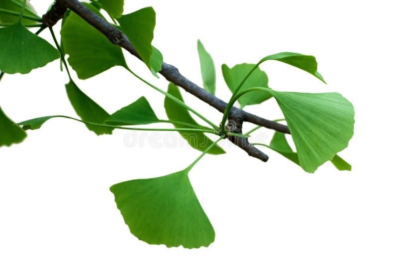 新鲜的叶子银杏树 免版税库存图片