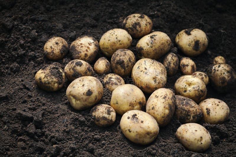新鲜的土豆堆在地面上的 有机耕田产品 库存照片