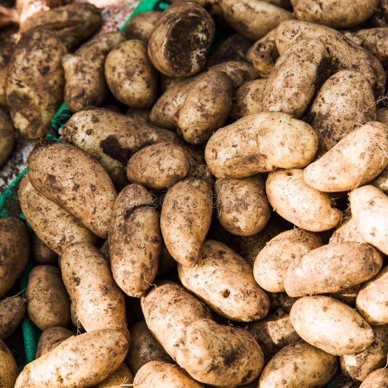 新鲜的土豆肮脏在地板上 免版税库存图片