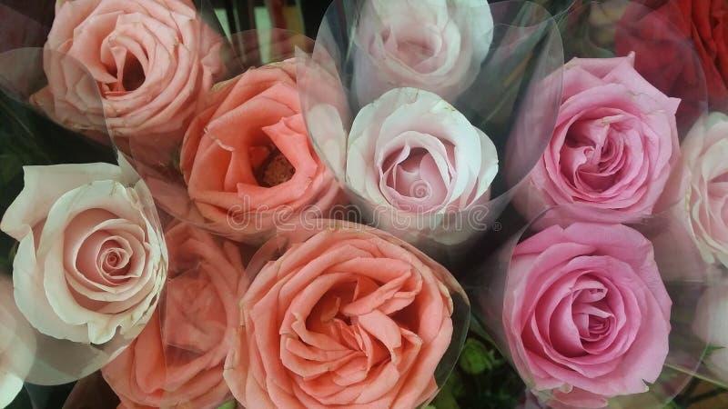 新鲜的天鹅绒玫瑰 库存图片