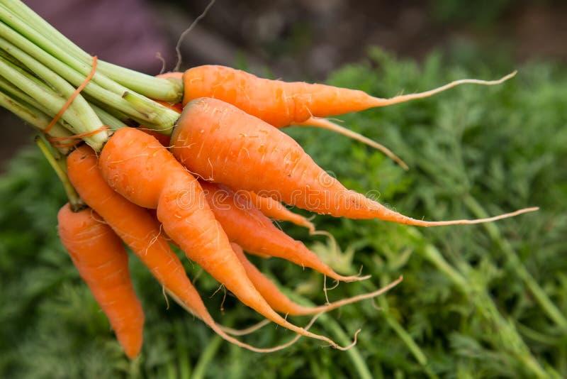 新鲜的嫩胡萝卜 库存图片