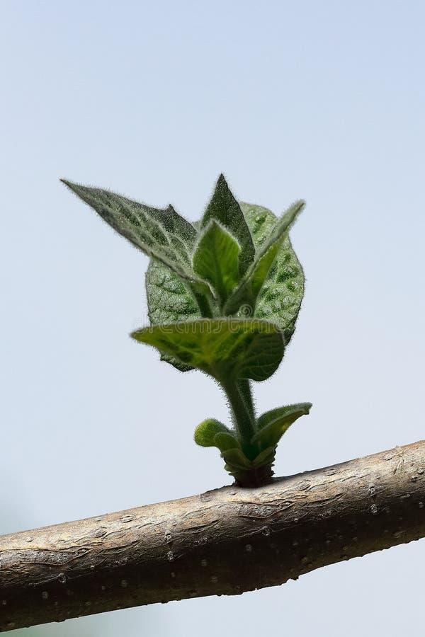 新鲜的年轻新芽-在一棵绿色泡桐属树的细节 免版税库存照片
