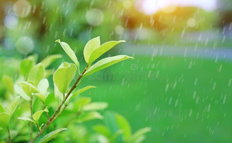 新鲜的年轻绿色在被弄脏的背景的树顶面叶子在有下雨和阳光的夏天庭院里 特写镜头自然leav 图库摄影