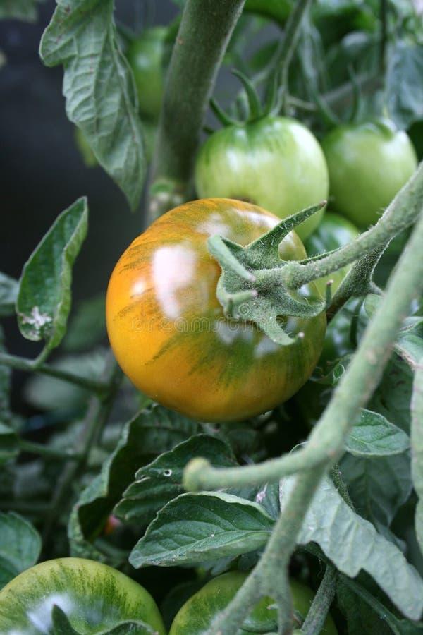 新鲜的庭院蕃茄 图库摄影