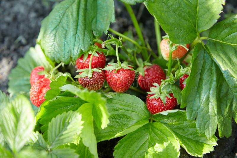 新鲜的成熟和未成熟的草莓的布什在庭院里 免版税图库摄影