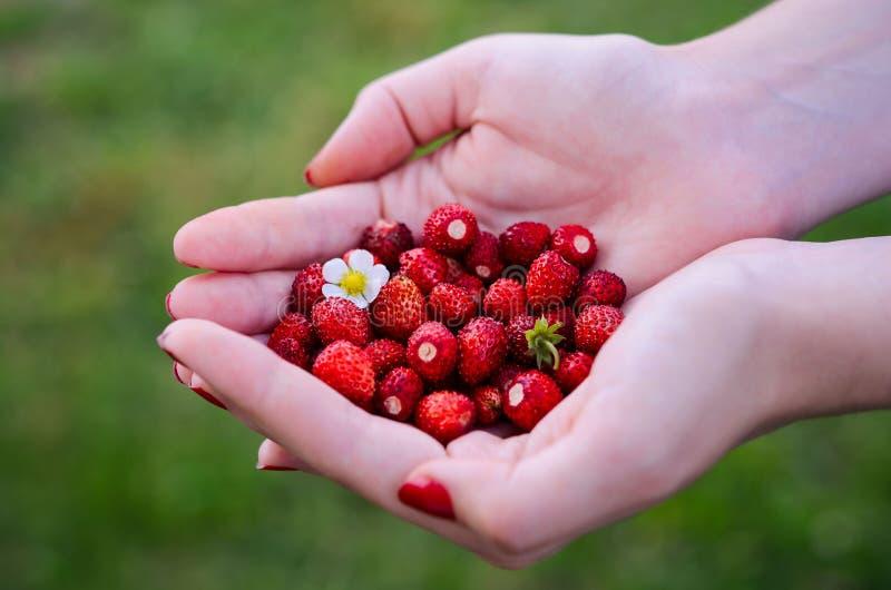 新鲜的成熟森林草莓在绿色夏天背景的一只女性手上 图库摄影