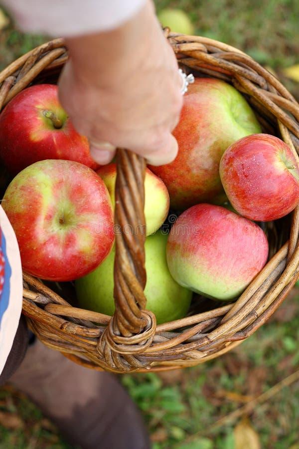 新鲜的摘的苹果妇女的手运载的篮子  免版税库存照片