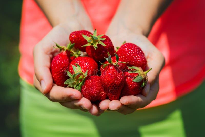 新鲜的摘的草莓举行在草莓植物 免版税库存图片