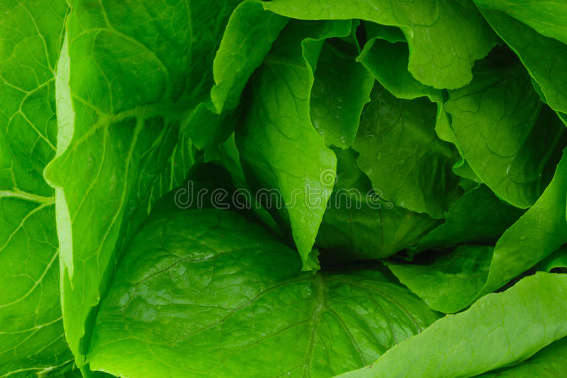 新鲜的散叶莴苣 免版税库存照片