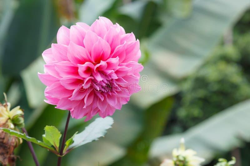 新鲜的明亮的美丽的桃红色开花的大丽花狂放的装饰花 在花语言,大丽花代表尊严和刺 免版税库存图片