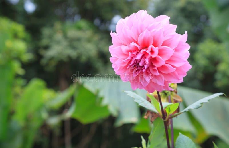 新鲜的明亮的美丽的桃红色开花的大丽花狂放的装饰花 在花语言,大丽花代表尊严和刺 库存图片